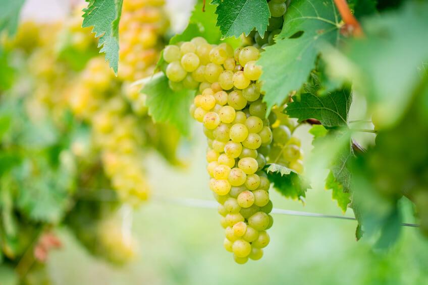 suesse saftig reife Weintrauben im Herbst